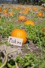 Pumpkin At Pumpkin Patch — Stock Photo