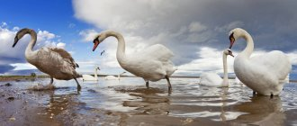 Swans Wading In Water; — Stock Photo