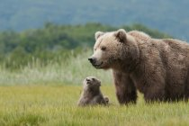Brown Grizzly Bear — Stock Photo