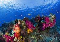 Coralli sulla barriera corallina poco profonda — Foto stock