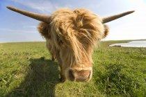 Hochlandkuh steht auf Gras — Stockfoto