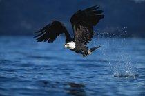 Weißkopfseeadler im Flug — Stockfoto