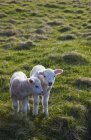 Two Lambs Side By Side — Stock Photo