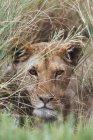 Левиця вдивляючись через трави — стокове фото