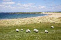 Pâturage des moutons dans le champ — Photo de stock