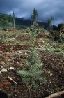 Conifer Seedling Planted In Forest — Stock Photo