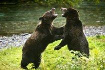 Dos osos pardos - foto de stock