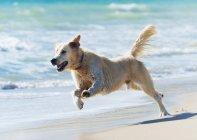 Dog Running Down Beach — Stock Photo