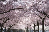 Pink Blossoms On The Trees — Stock Photo