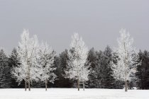 Frost-Covered Trees — Stock Photo