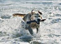 Собака извлечение палку в воде — стоковое фото