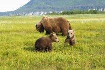 Grizzli brun — Photo de stock