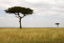 Acacia Trees In Field — Stock Photo