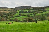 Vaches broutant dans un champ vert — Photo de stock