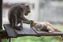 Захопили улюбленця мавп — стокове фото
