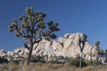 Юкка деревья в пустыне — стоковое фото