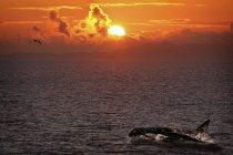 Baleia assassina na água — Fotografia de Stock