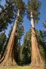 Sequoia Trees In National Park — Stock Photo
