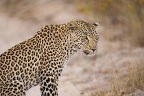 Леопард, сидячи на відкритому повітрі — стокове фото