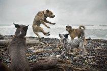 Chiens de combat sur la plage — Photo de stock