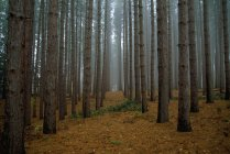 Red Pine Forest — Stock Photo