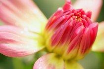 Rosa und gelbe Blume — Stockfoto