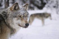 Loups regarder loin dans la neige — Photo de stock