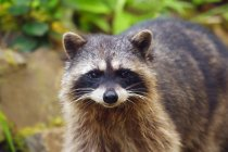 Raccoon  outdoors during daytime — Stock Photo