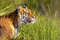 Tigress laying on tall grass — Stock Photo