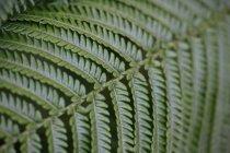 Nahaufnahme von grünem Farnwedel, Hintergrund — Stockfoto