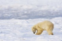Polar Bear Exploring — Photo de stock