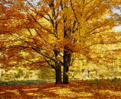 Sugar Maple Tree In Autumn — Stock Photo