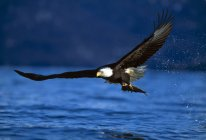 Bald Eagle Clutching Fish — Stock Photo