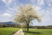 Квітнуче дерево Apple-Роуд — стокове фото