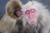 Older Snow Monkey — Stock Photo
