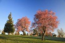 Arbres avec des fleurs dans le parc — Photo de stock