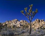 Джошуа дерева і скельними утвореннями — стокове фото