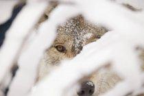 Wolf looking at camera — Stock Photo