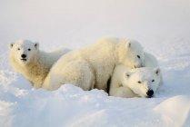 Полярные медведи, лежа на снегу — стоковое фото