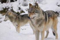 Двох вовків в снігу — стокове фото
