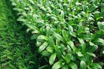 Piante coltivate commercialmente — Foto stock