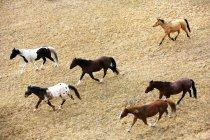 Pferde galoppieren auf dem Boden — Stockfoto