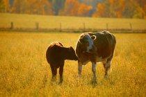Kühe auf der Weide auf Pflanzen — Stockfoto