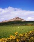Heeps Weiden auf grünen Rasen — Stockfoto