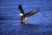 Белоголовый орлан ловли рыбы — стоковое фото