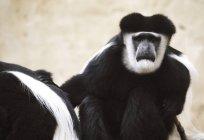 Белый колобус обезьян — стоковое фото
