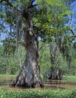 Old Growth Cypress Trees — Stock Photo