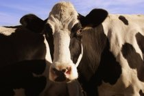 Cattle looking at camera — Stock Photo
