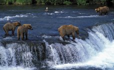 Grizzly Bears At Brooks Falls — Stock Photo