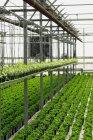 Cultivo comercial de plantas en invernadero - foto de stock